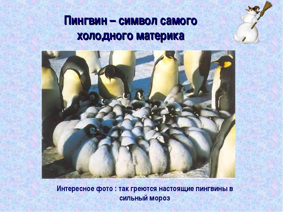 Пингвин – символ самого холодного материка Интересное фото : так греются наст...