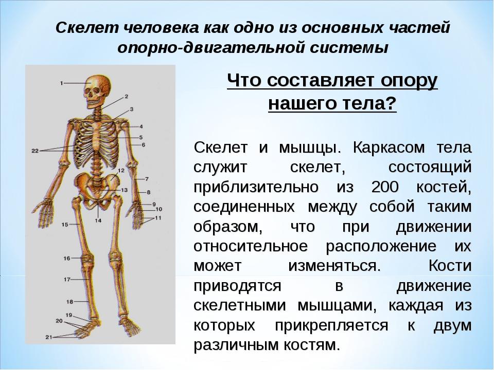 Скелет человека картинка для начальной школы