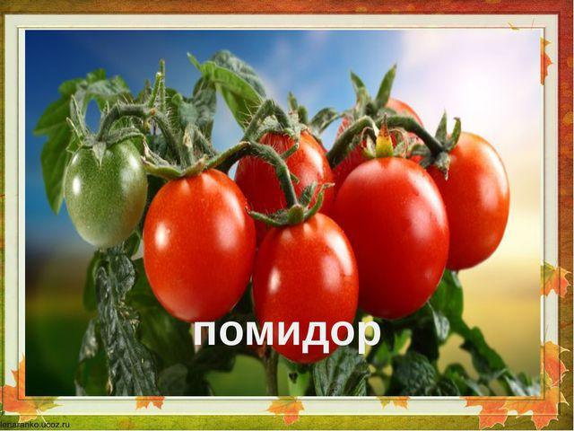 .  помидор