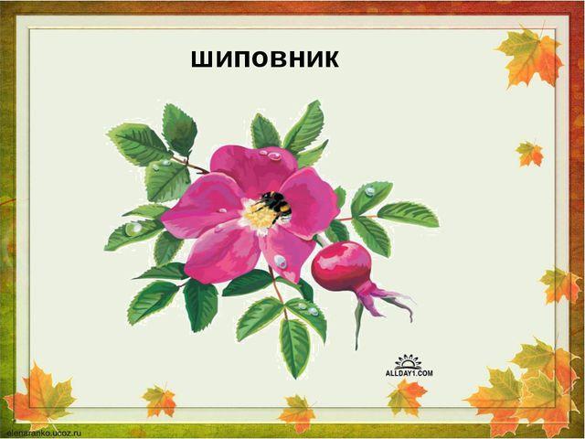 шиповник