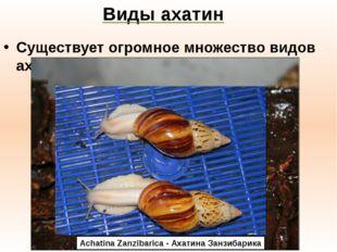 Виды ахатин Существует огромное множество видов ахатин: Achatina Fulica - Аха