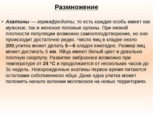 Размножение Ахатины—гермафродиты, то есть каждая особь имеет как мужские, т