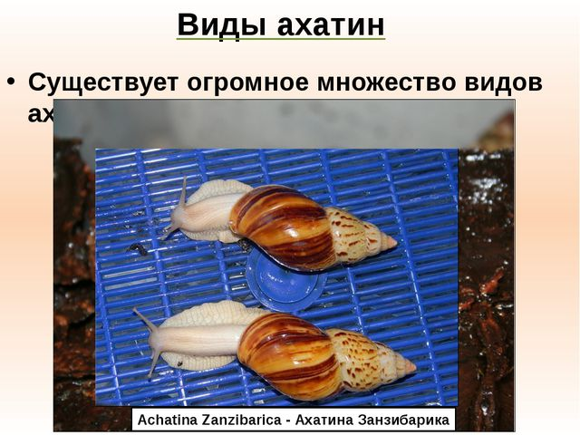 Виды ахатин Существует огромное множество видов ахатин: Achatina Fulica - Аха...