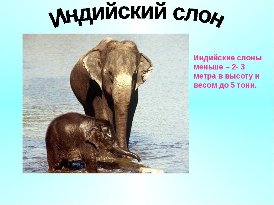 Индийские слоны меньше – 2- 3 метра в высоту и весом до 5 тонн.