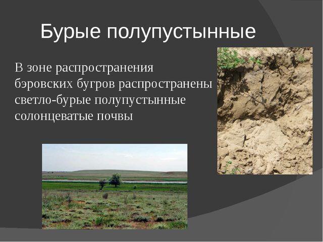Бурые полупустынные В зоне распространения бэровских бугров распространены св...