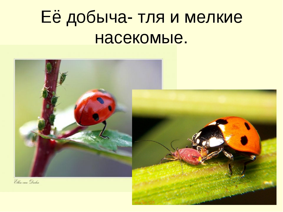 Её добыча- тля и мелкие насекомые.