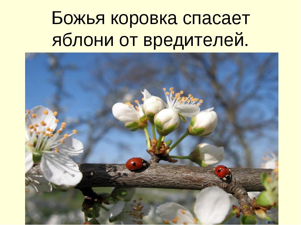 Божья коровка спасает яблони от вредителей.