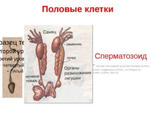 Половые клетки Сперматозоид – зрелая гаплоидная мужская половая клетка. Мелки