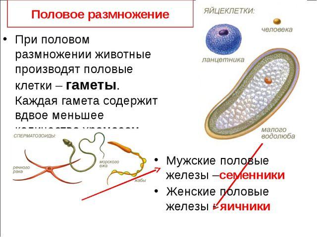 Половое размножение При половом размножении животные производят половые клет...