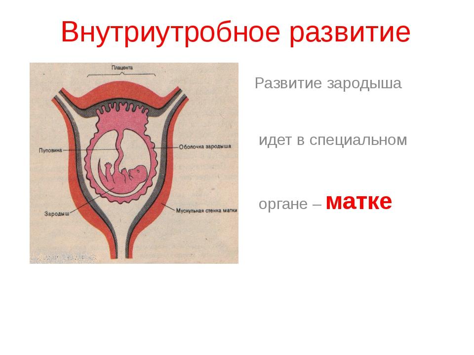 Внутриутробное развитие Развитие зародыша идет в специальном органе – матке