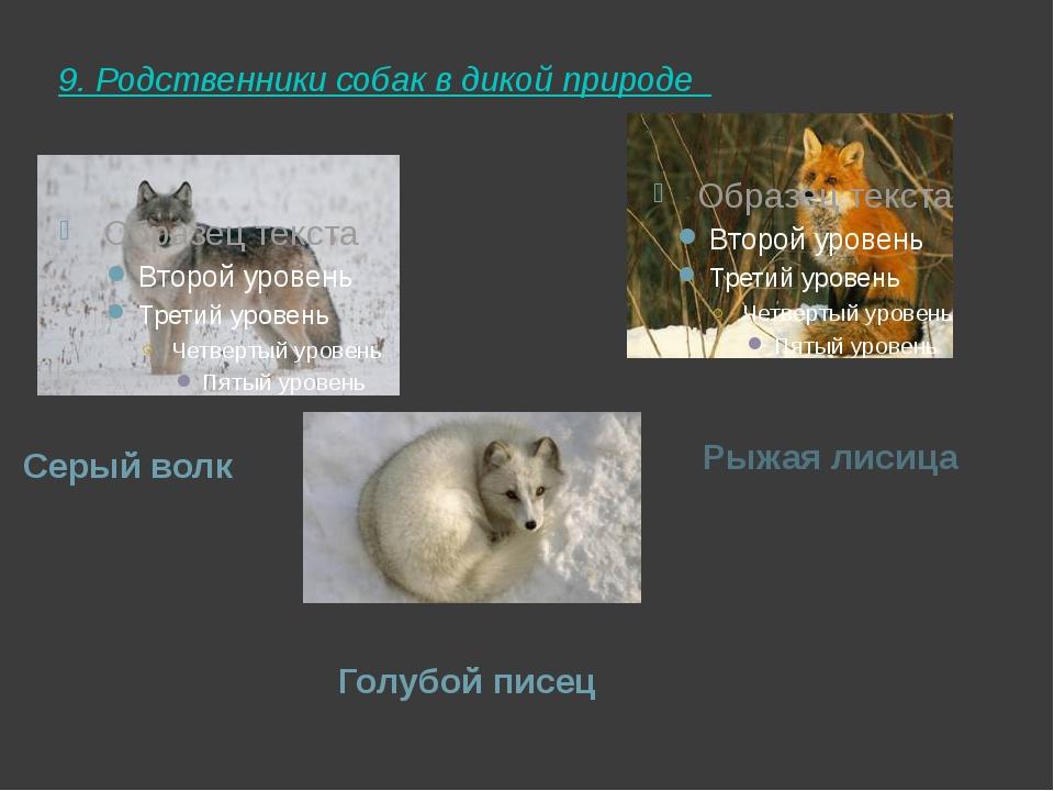 9. Родственники собак в дикой природе  Серый волк Рыжая лисица Голубой писец