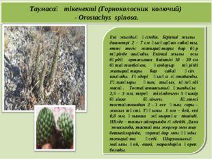Екі жылдық өсімдік. Бірінші жылы диаметрі 2 – 7 см қысқарған сабақты, етті т