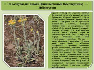 Құм салаубас,шөпшай (Цмин песчаный (бессмертник) — Helіchrysum Күрделі гүлділ