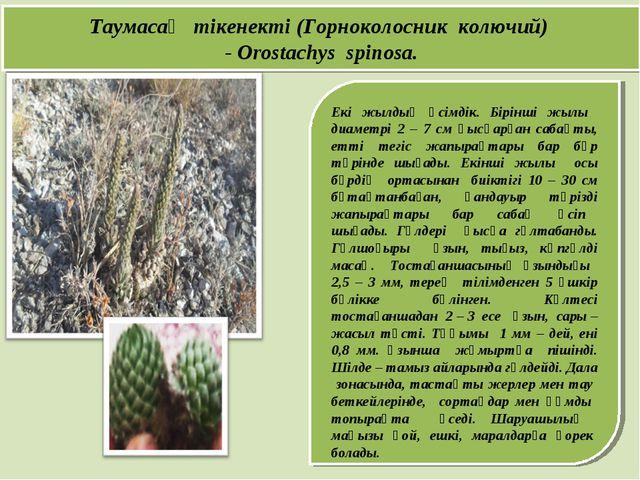 Екі жылдық өсімдік. Бірінші жылы диаметрі 2 – 7 см қысқарған сабақты, етті т...