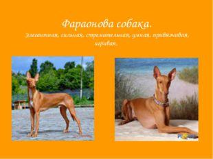Фараонова собака. Элегантная, сильная, стремительная, умная, привязчивая, игр