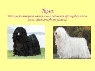 Пули. Венгерская пастушья собака. Легко поддается дрессировке. Очень умна. Пр