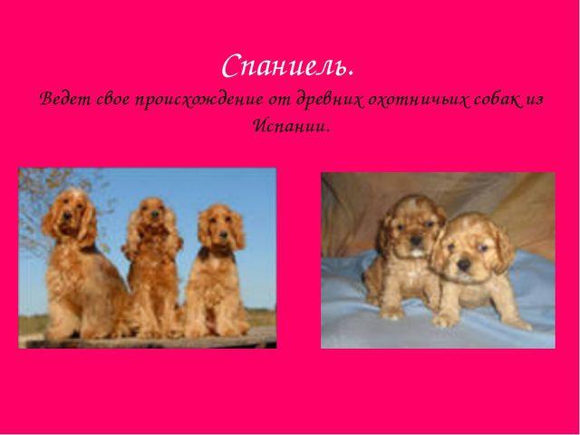 Спаниель. Ведет свое происхождение от древних охотничьих собак из Испании.