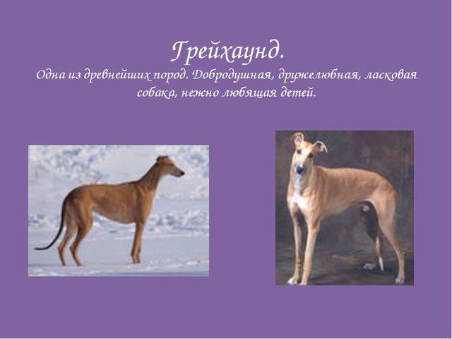 Грейхаунд. Одна из древнейших пород. Добродушная, дружелюбная, ласковая собак...