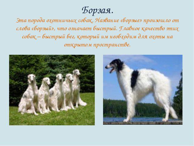 Борзая. Эта порода охотничьих собак. Название «борзые» произошло от слова «бо...