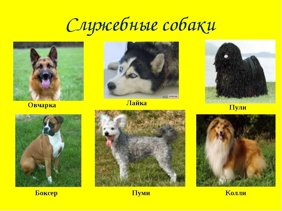 Служебные собаки Овчарка Лайка Пули Боксер Пуми Колли