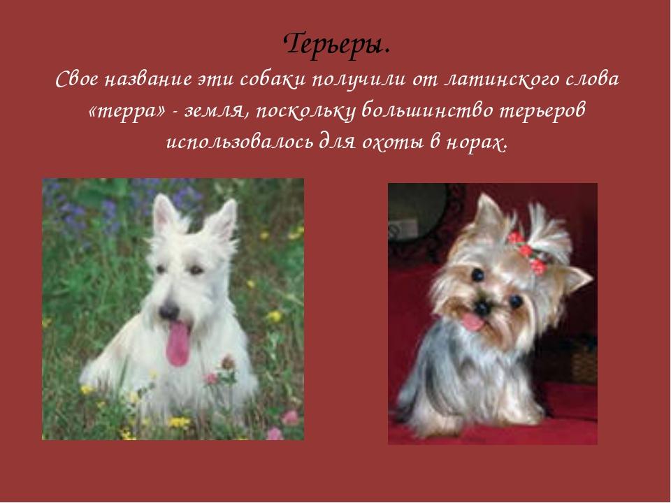 Терьеры. Свое название эти собаки получили от латинского слова «терра» - земл...