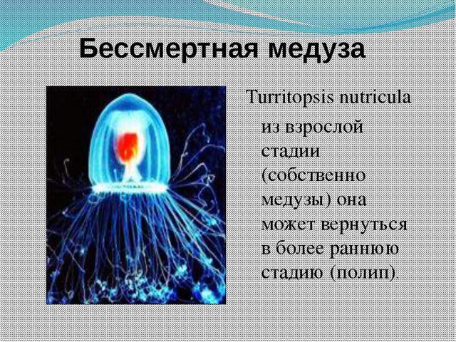 Бессмертная медуза Turritopsis nutricula из взрослой стадии (собственно медуз...