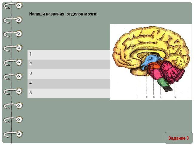 Задание 3 Напиши названия отделов мозга: 1 2 3 4 5