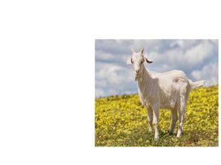 коза Есть рога, а не баран, Хвост свечой, а не белка, Не корова, а молоко даёт