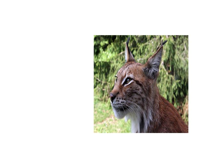рысь Меньше тигра, больше кошки, Над ушами — кисти-рожки. С виду кроток, но н...
