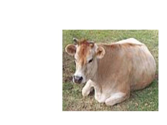 корова Сама пёстрая, Ест зелёное, Даёт белое.