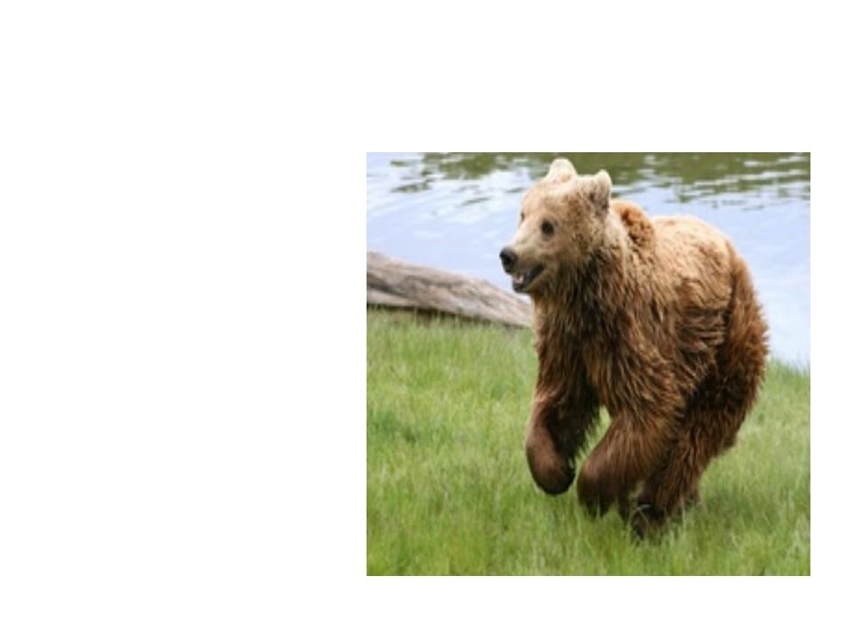 медведь Большой, Спит в берлоге он зимой. Любит шишки, любит мёд, Ну-ка, кто...