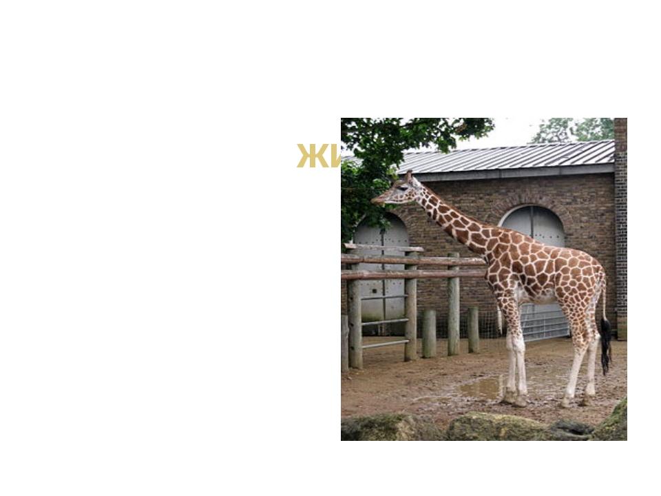 жираф Узнать его нам просто, Узнать его легко: Высокого он роста И видит дале...