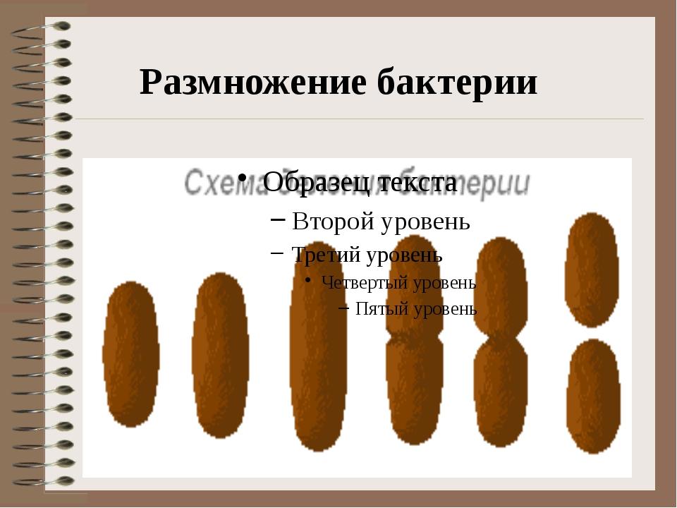 Размножение бактерии