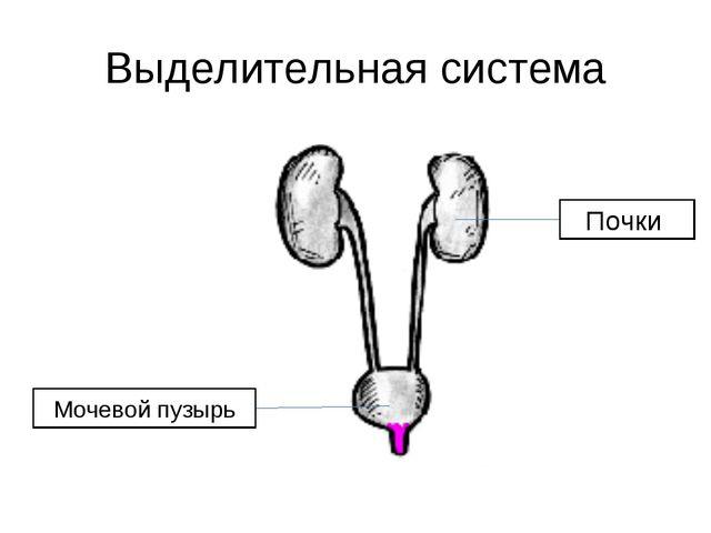Выделительная система Мочевой пузырь
