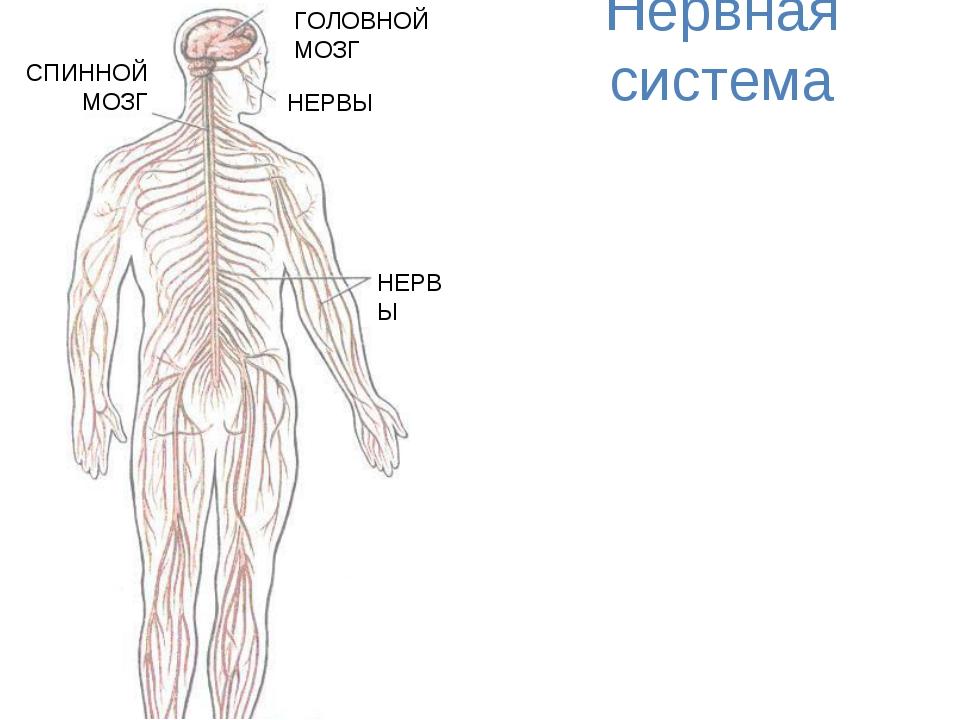 Нервная система НЕРВЫ НЕРВЫ СПИННОЙ МОЗГ ГОЛОВНОЙ МОЗГ