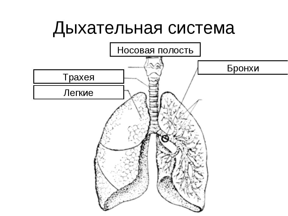 Дыхательная система Носовая полость Трахея Бронхи Легкие