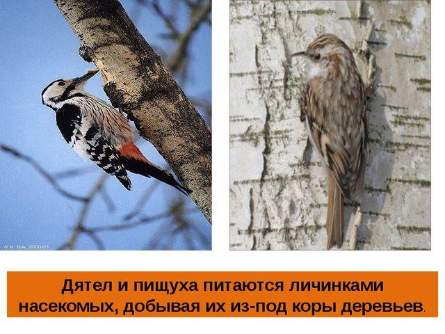 Дятел и пищуха питаются личинками насекомых, добывая их из-под коры деревьев.