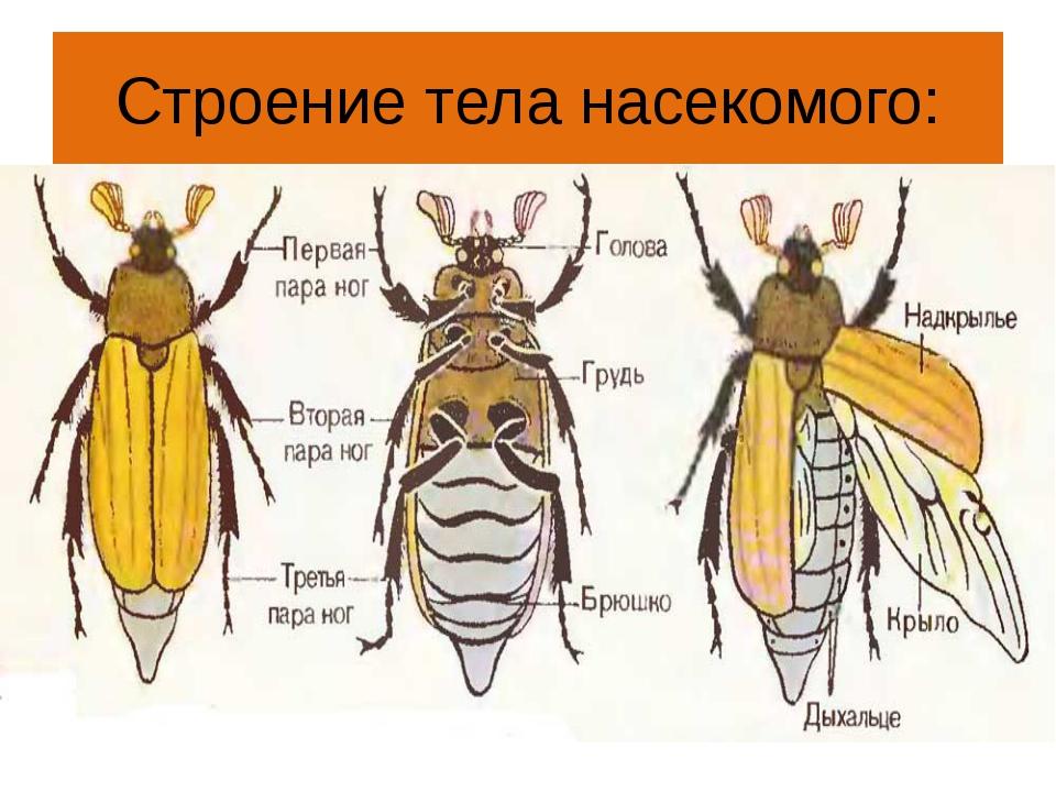 Строение тела насекомого: