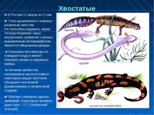 Хвостатые ■ В России 11 видов из 2 сем. ■ Тело удлиненное с хорошо развитым х