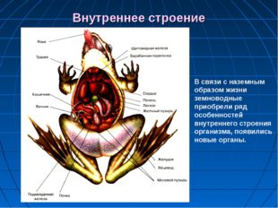 Внутреннее строение В связи с наземным образом жизни земноводные приобрели ря