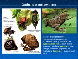 Забота о потомстве Многие виды (особенно тропические) земноводных проявляют з