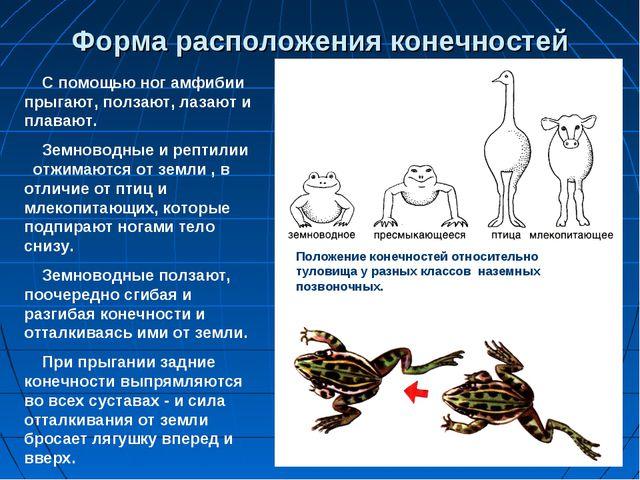 Форма расположения конечностей С помощью ног амфибии прыгают, ползают, лазают...