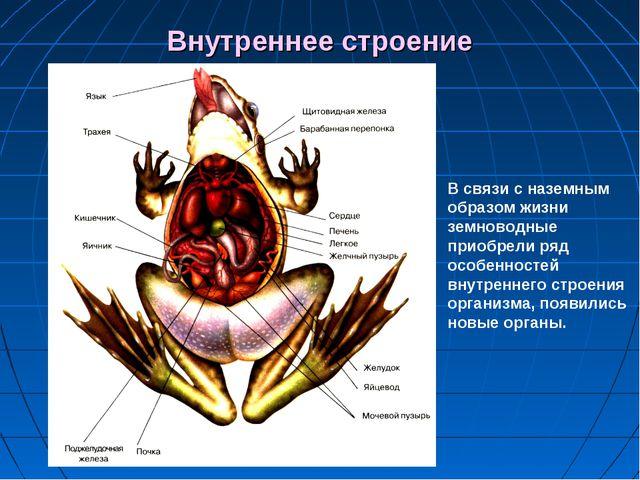 Внутреннее строение В связи с наземным образом жизни земноводные приобрели ря...