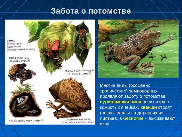 Забота о потомстве Многие виды (особенно тропические) земноводных проявляют з...