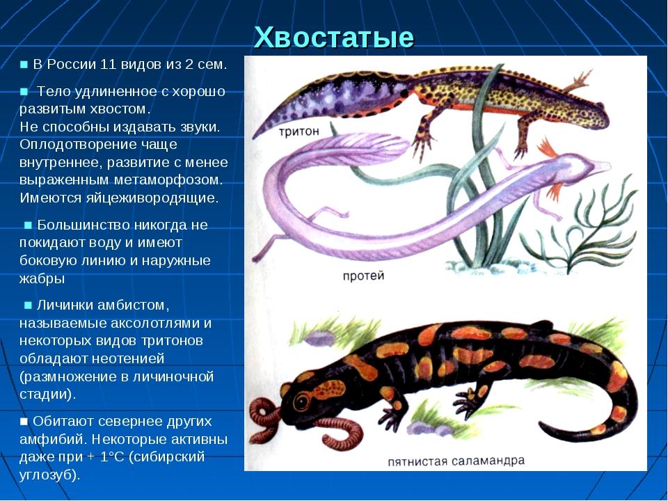 Хвостатые ■ В России 11 видов из 2 сем. ■ Тело удлиненное с хорошо развитым х...