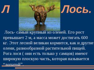 Лось- самый крупный из оленей. Его рост превышает 2 м, а масса может достигат