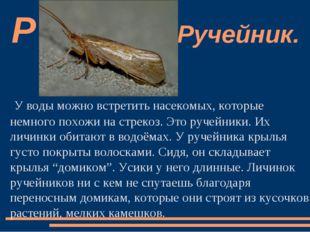У воды можно встретить насекомых, которые немного похожи на стрекоз. Это руче