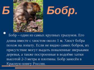 Бобр – один из самых крупных грызунов. Его длина вместе с хвостом около 1 м.