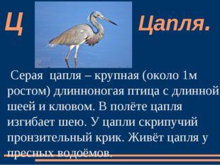Серая  цапля – крупная (около 1м ростом) длинноногая птица с длинной шеей и к