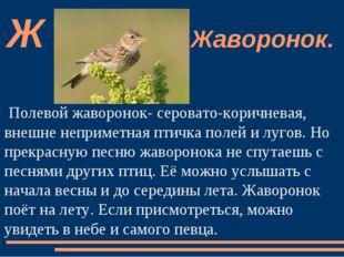 Полевой жаворонок- серовато-коричневая, внешне неприметная птичка полей и луг